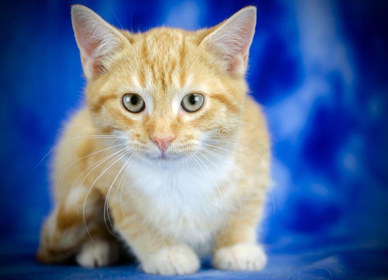 Orange Tabby Kitten Adoption Foto lizenzfreie stockfotografie