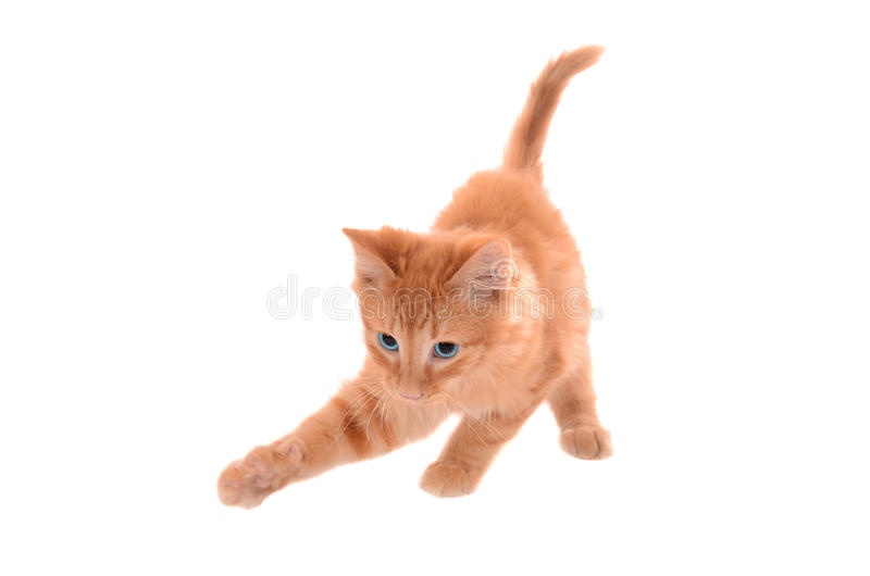 Orange Tabby Playing lizenzfreie stockfotos