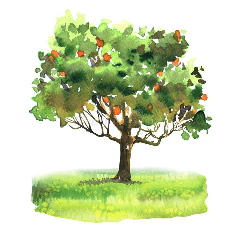 Orange and tangerine tree with ripe fruit on green grass, citrus garden, harvest, isolated, hand drawn watercolor vector illustration