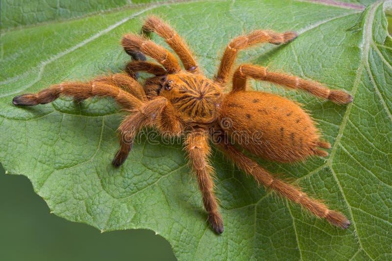 Orange tarantula. A OBT tarantula is resting on a leaf stock photos