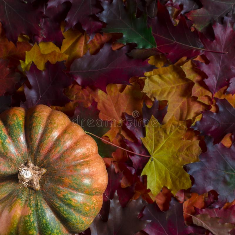 The orange textured pumpkin rests on the colorful autumn leaves. Autumn harvest stock photography