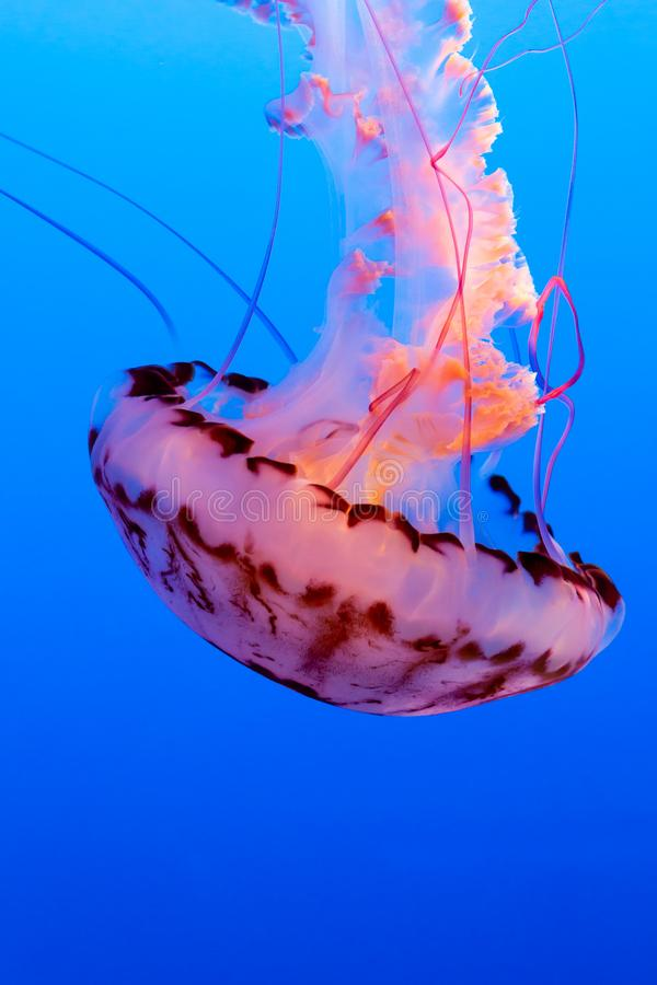 Orange jelly fish on a dark blue background royalty free stock photography