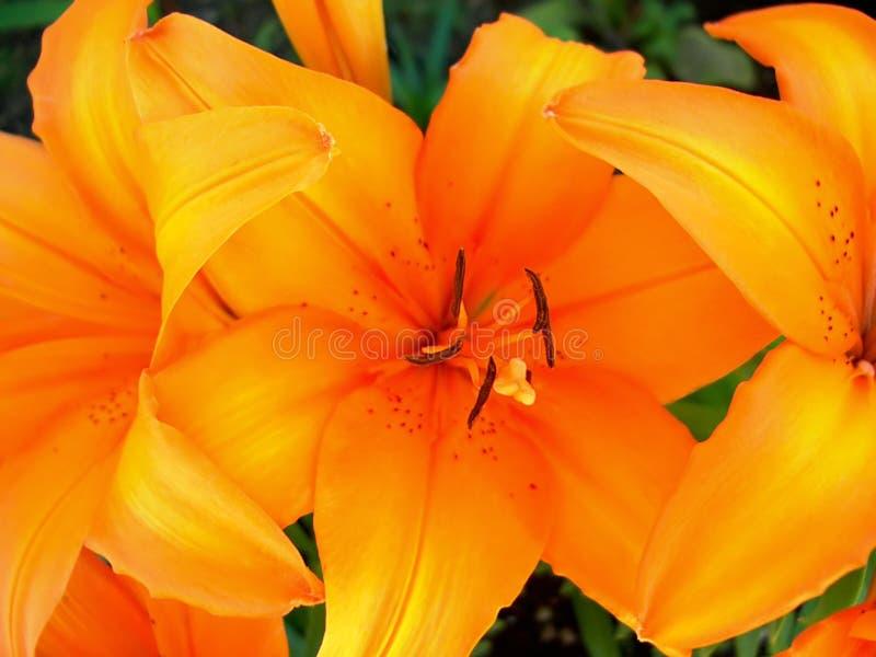 Orange Tiger-Lilie lizenzfreies stockfoto