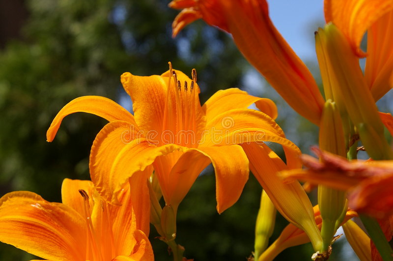 Orange Tiger Lily. Found in gardens and along Pennsylvania roads, these beautify the area wherever they propagate throughout the summer months stock photo