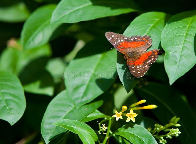 Orange Tiger Longwing royalty free stock photography