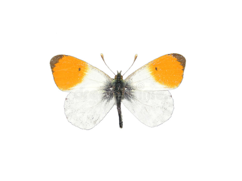 Orange tip (Anthocharis cardamines). Orange tip butterfly (Anthocharis cardamines royalty free stock photography