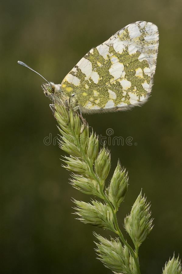 The orange tip butterfly Anthocharis cardamines. Stop on a green spike stock photos