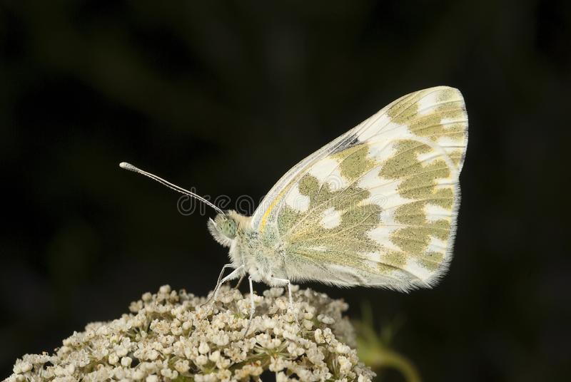 The orange tip butterfly Anthocharis cardamines. The orange tip of the butterfly Anthocharis cardamines, on white flowers royalty free stock image