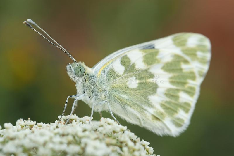 The orange tip butterfly Anthocharis cardamines. The orange tip of the butterfly Anthocharis cardamines, on white flowers royalty free stock photography