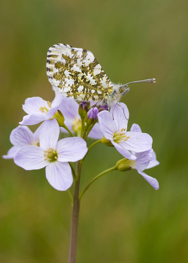 Free Orange Tip Butterfly (Anthocharis Cardamines) Royalty Free Stock Photography - 14088427
