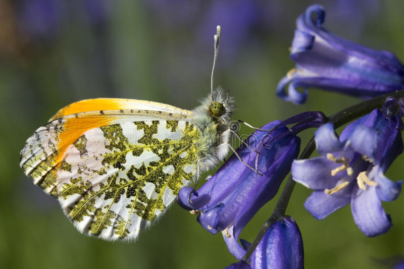 Orange Tip Butterfly (Anthocharis cardamines) on a Bluebell. Male Orange Tip Butterfly (Anthocharis cardamines) on a Bluebell stock photo