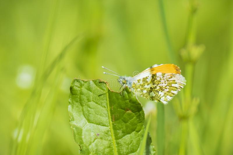 Orange tip butterfly anthocharis cardamines male. Male Orange tip butterfly anthocharis cardamines resting in a meadow stock photos