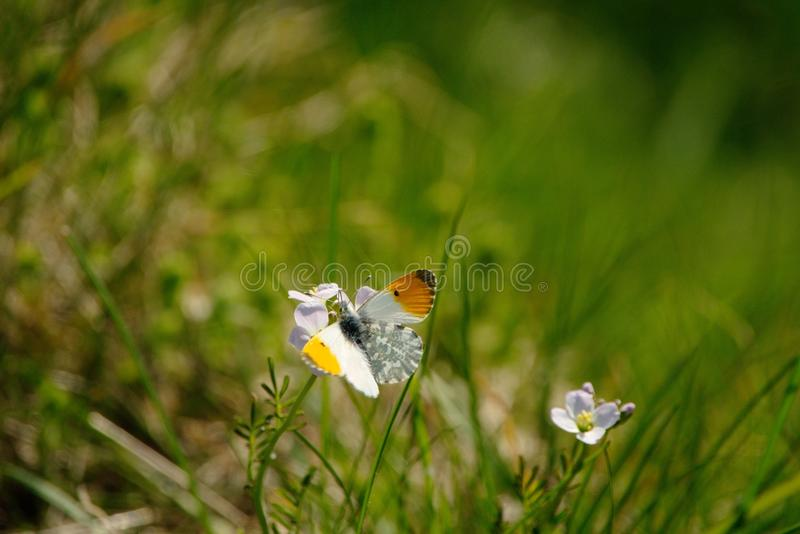 Orange tip butterfly. Anthocharis cardamines or Orange tip butterfly in the UK nestled on a flower with his mottled green underwing showing stock photo