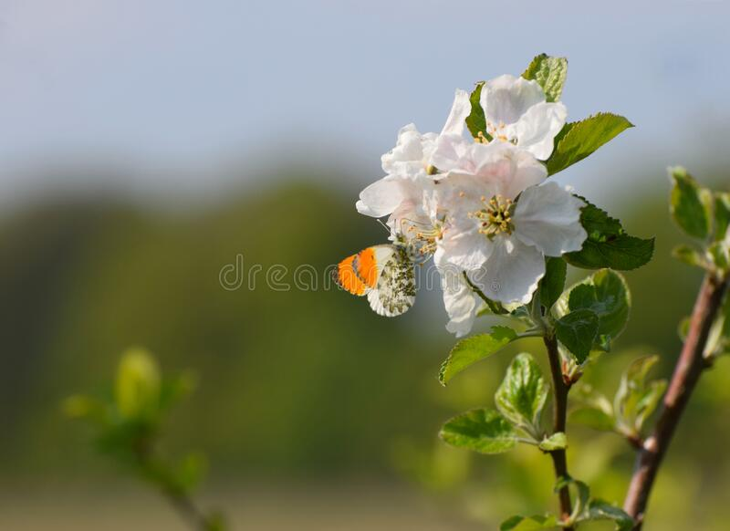 An orange tip butterfly on apple blossom stock photo