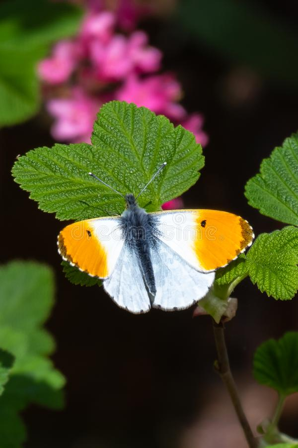 Orange-tip butterfly male Anthocharis cardamines stock image