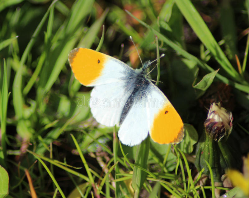 The orange tip royalty free stock images