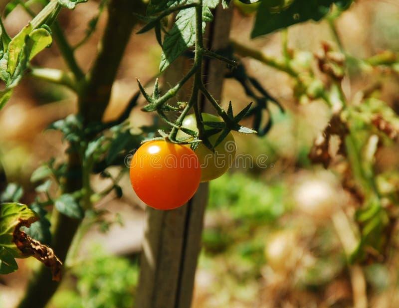 Orange Tomaten, die auf der Rebe reifen stockfotografie