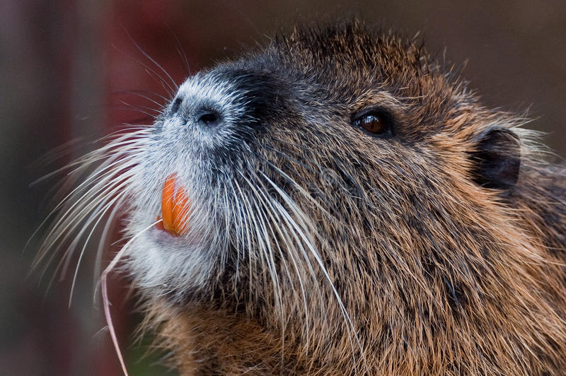 Orange tooth Bever stock photography