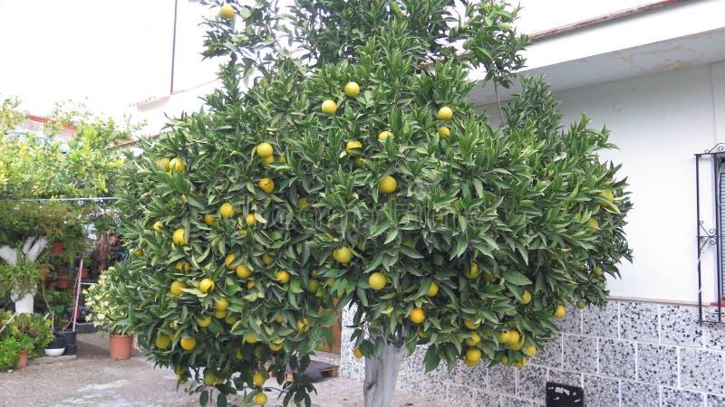 Orange träd med nästan mogen frukt i November arkivfoton
