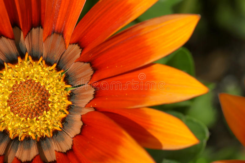 Download Orange treasure flower stock photo. Image of graphic - 20528494