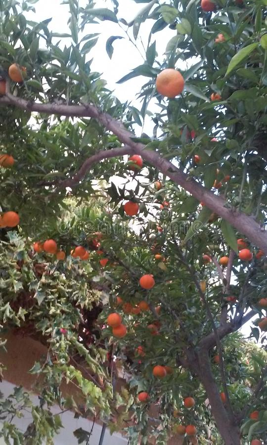 Orange Tree arkivfoton