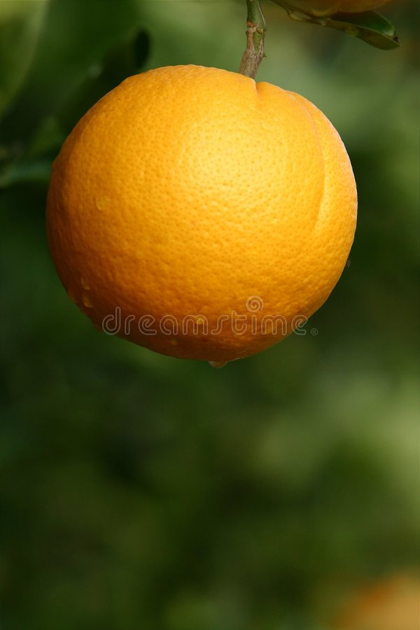 Download Orange in a Tree stock image. Image of grove, juicy, green - 123991