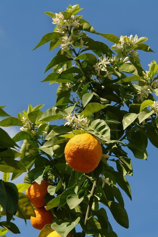 orange tree arkivbild