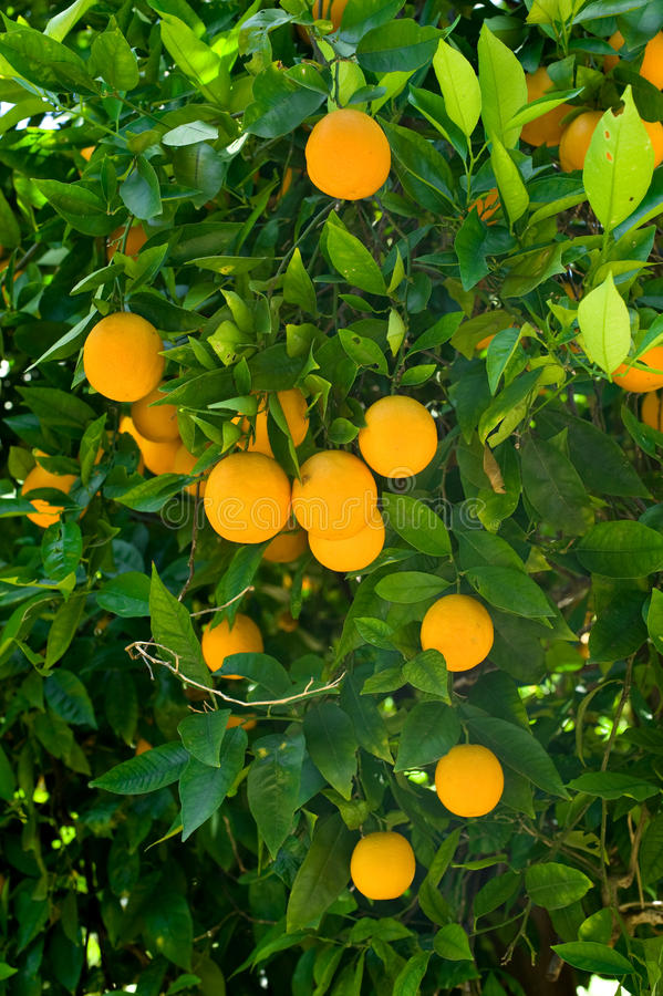 Orange Tree Stock Photo