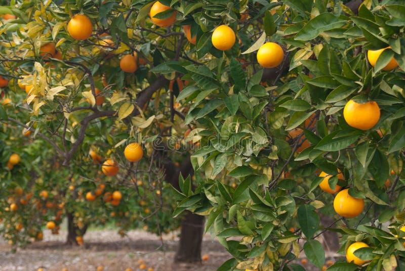 Download Orange Tree Royalty Free Stock Image - Image: 17831876
