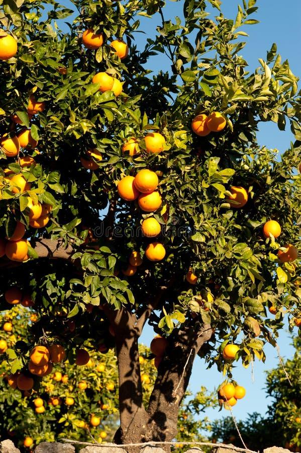 Download Orange tree stock image. Image of mediterranean, lush - 23052775