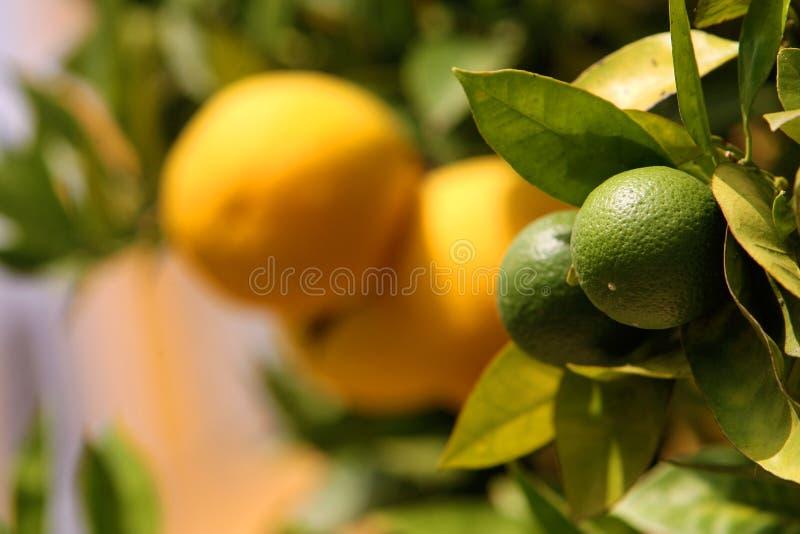 Download Orange tree stock photo. Image of summer, fresh, gardens - 23362930