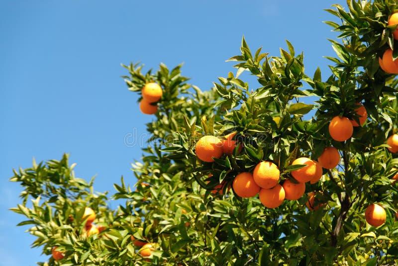 Download Orange Tree stock photo. Image of blue, orange, fruit - 25280262