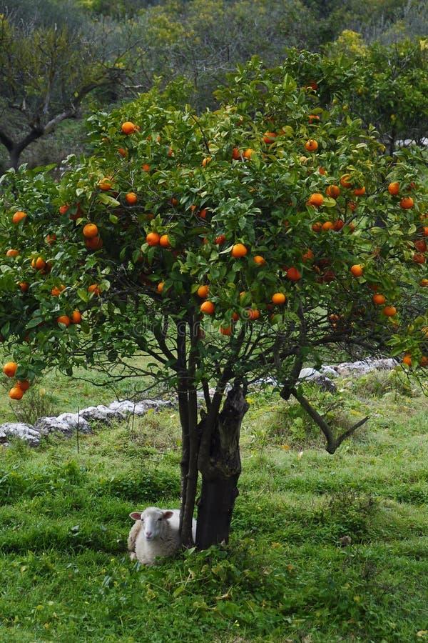 Orange tree. Sheep and orange tree in a garden- Mallorca stock image