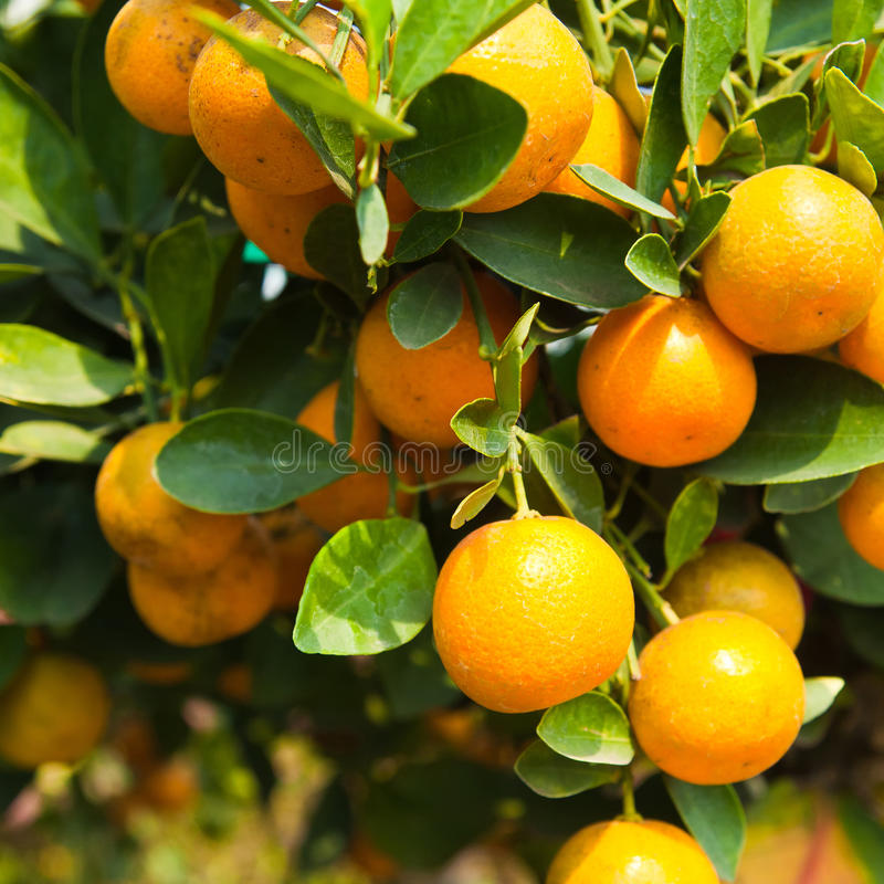 Download Orange on tree stock photo. Image of abundance, cultivated - 28845046
