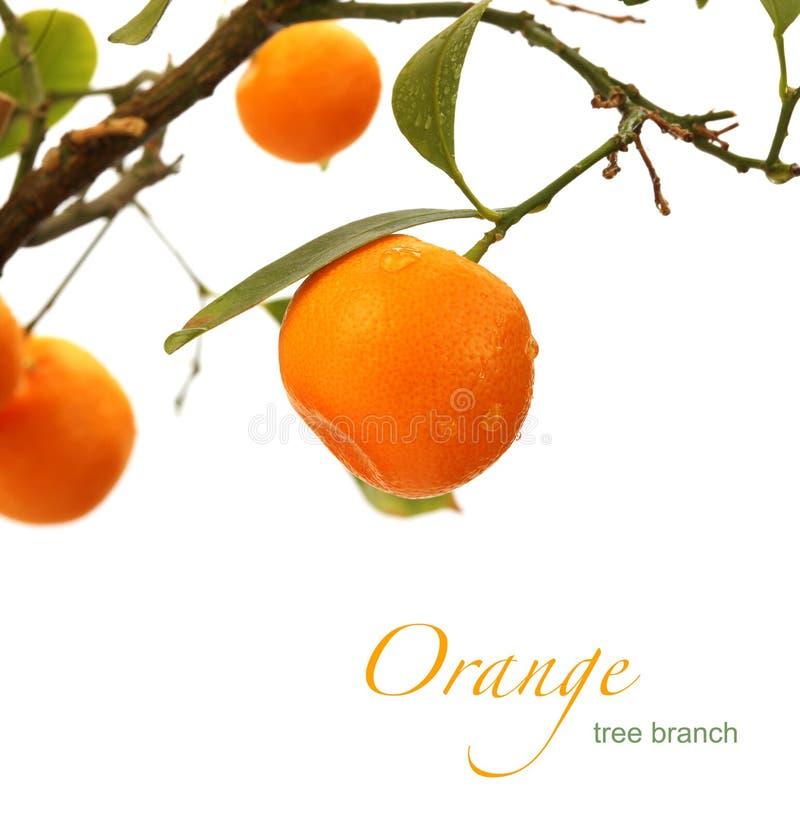 Orange Tree Branch Stock Photo