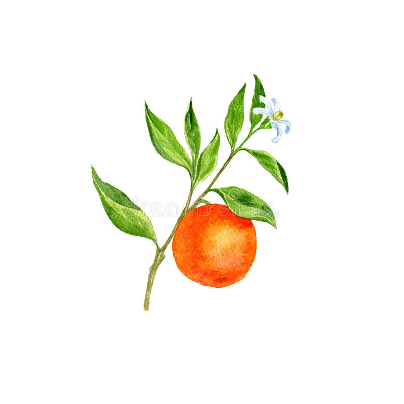 Orange tree branch with flowers, leaves and oranges stock illustration