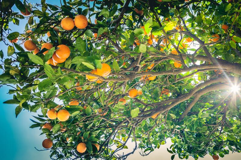 Orange tree, branches with fruits hanging in an outdoor garden. stock photo