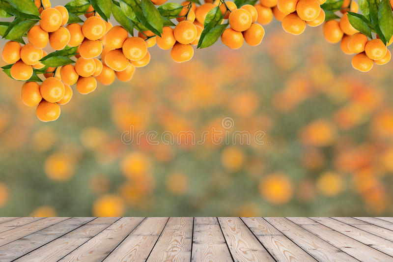 Orange tree. Bunch of ripe oranges hanging on a tree royalty free stock photos