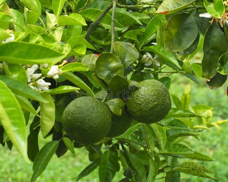 Orange Tree Or Citrus × Sinensis In Heraklion Crete Greece stock photo