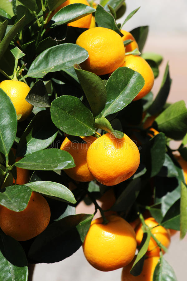 Orange tree with colorful fruits, detail stock photo