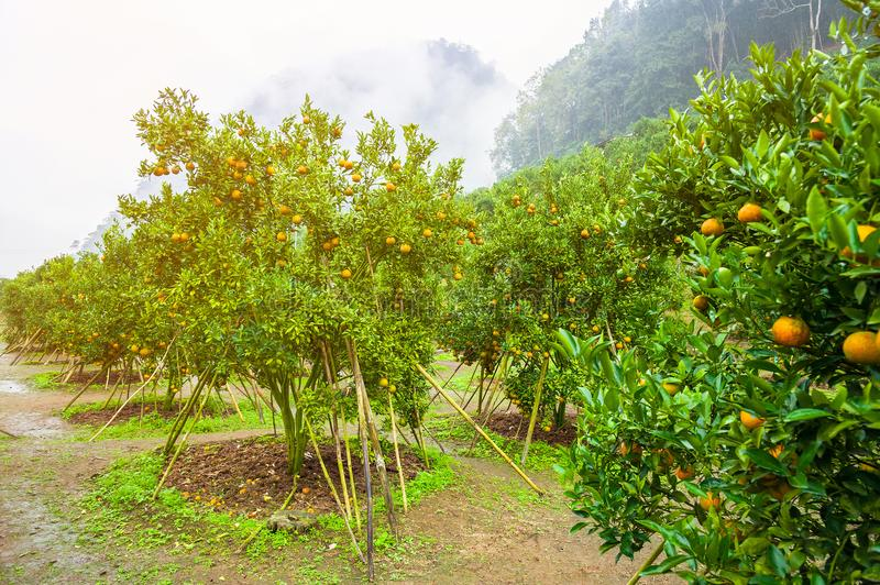 Orange tree - Orange Farm in a row, Chiang-Mai royalty free stock images