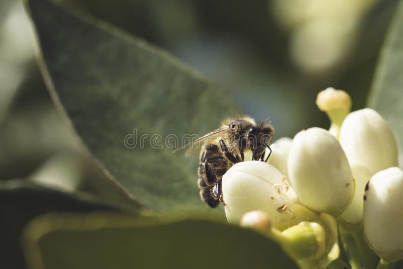 Orange tree flower and bee. Pollination of an orange tree flower, with a bee stock image