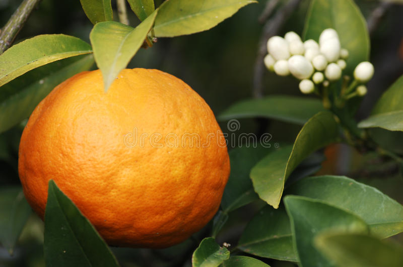 Orange Tree With Fruit And Blossom. (selective focus royalty free stock photo