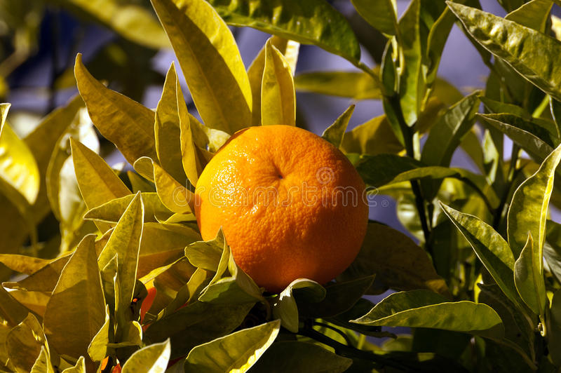 Orange Tree with Fruit and Leaves stock image
