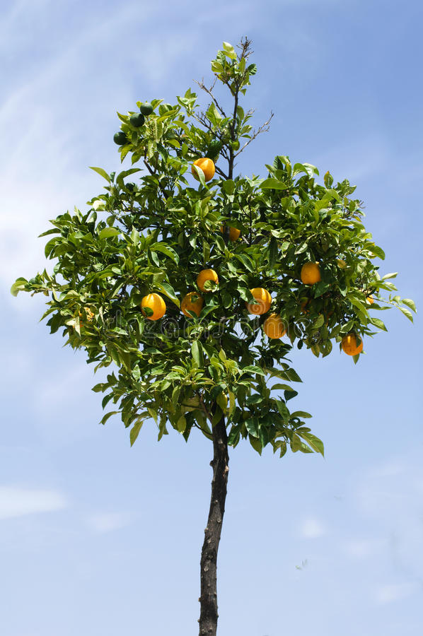 Download Orange Tree With Fruits Royalty Free Stock Photos - Image: 27190668