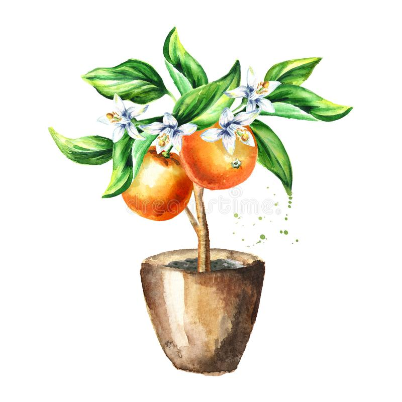 Orange tree with fruits, flowers and leaves. Watercolor hand drawn illustration , isolated on white background stock illustration