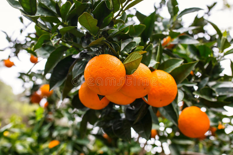 Download Orange tree with fruits stock image. Image of food, green - 93602407