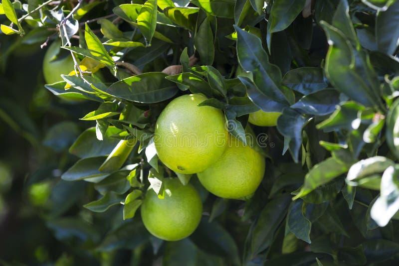 Orange tree with fruits stock image