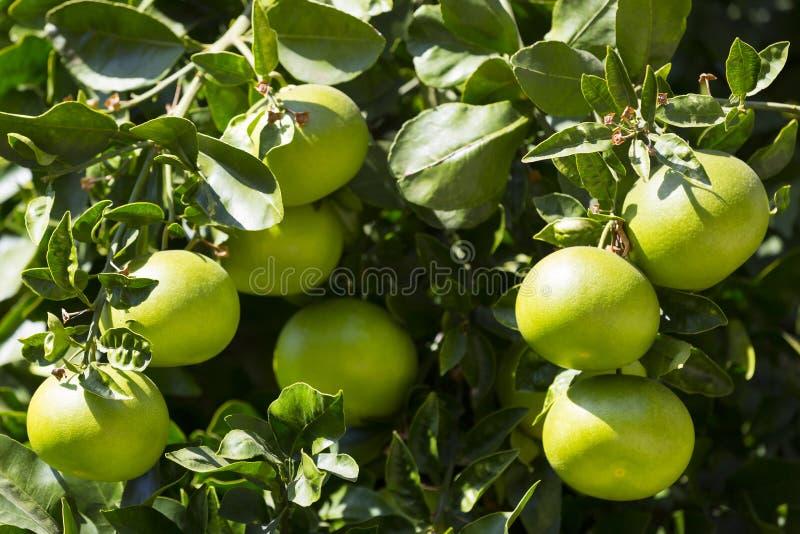 Orange tree with fruits stock photo