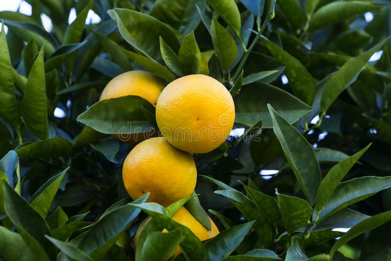 Orange tree with fruits ripen stock photo